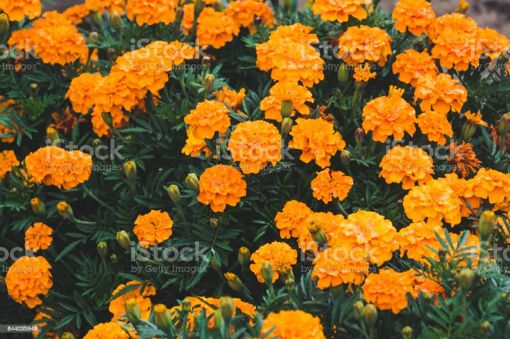 Yellow flower of marigold or tagetes stock photo