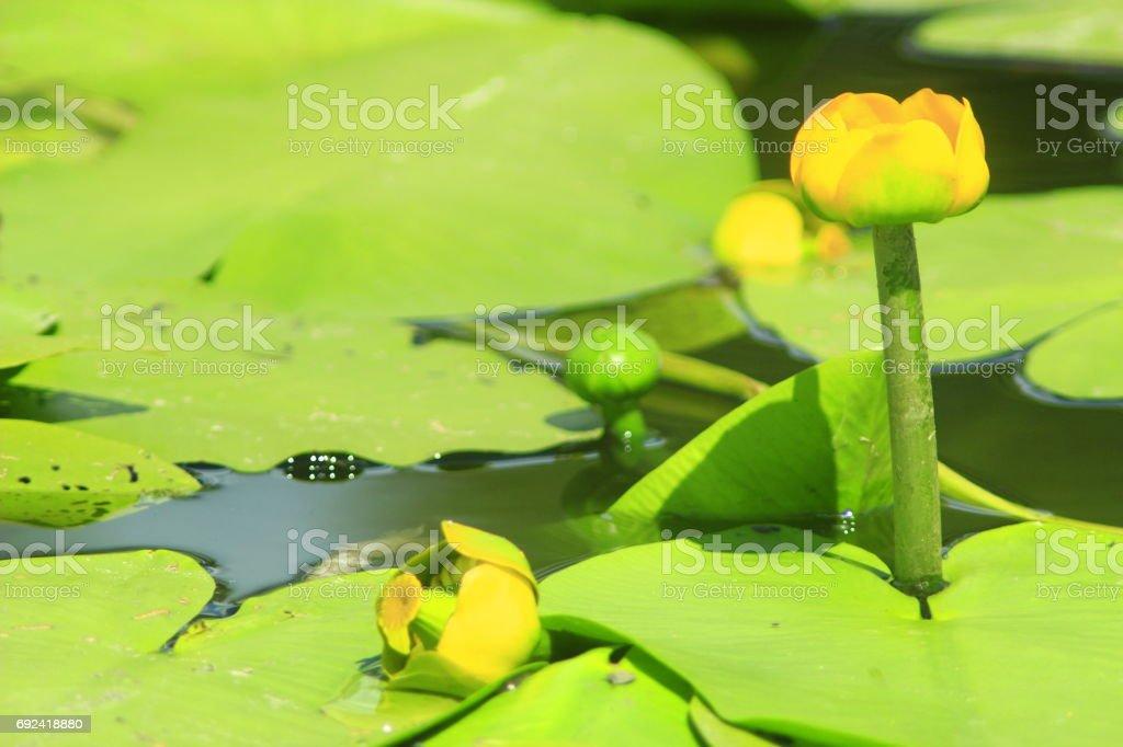 yellow flower of Nuphar lutea stock photo
