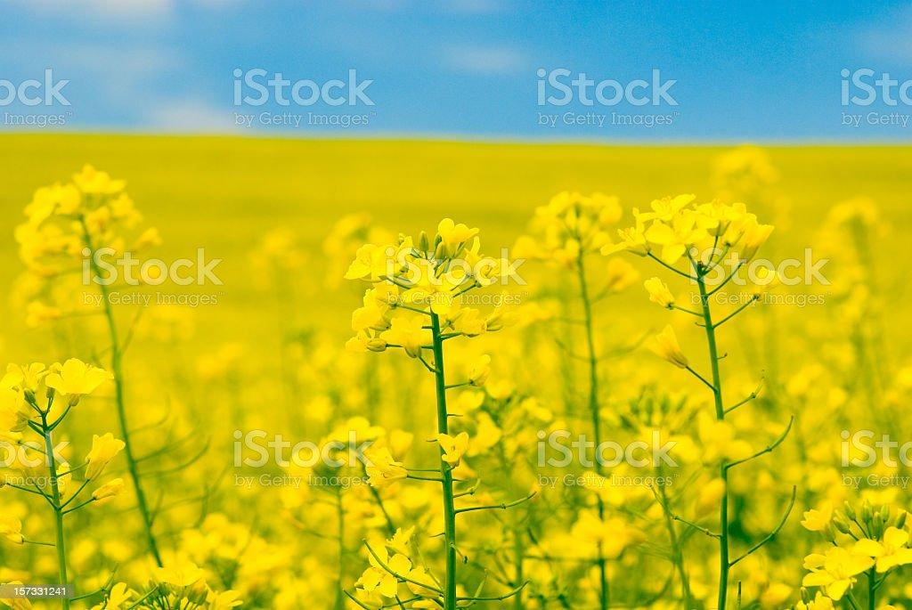 yellow flower of rape, close-up stock photo