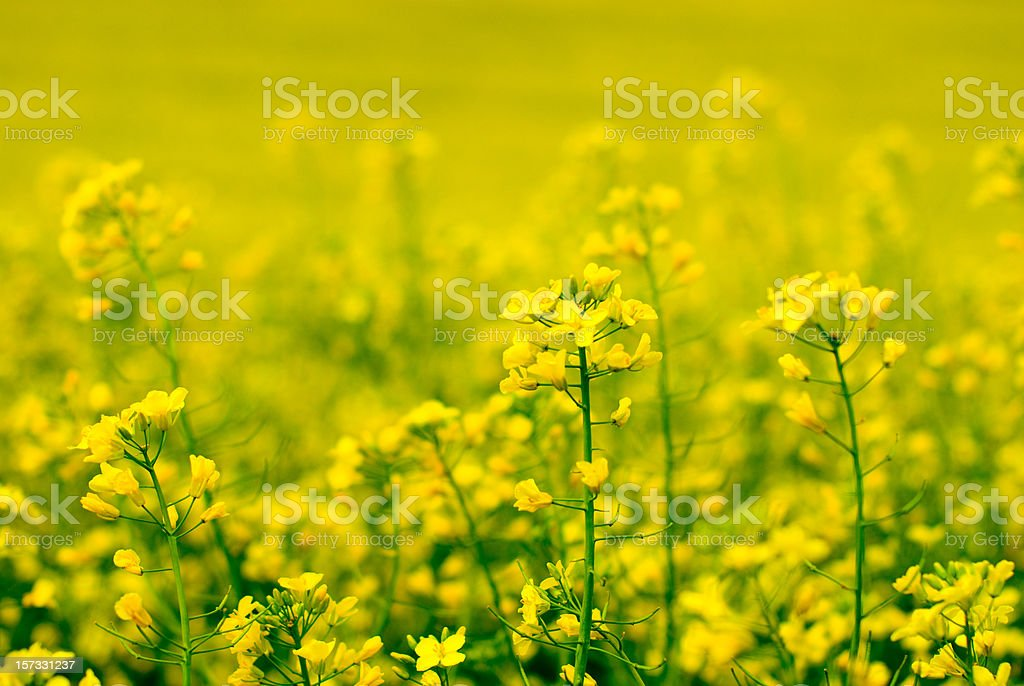 yellow flower of rape stock photo