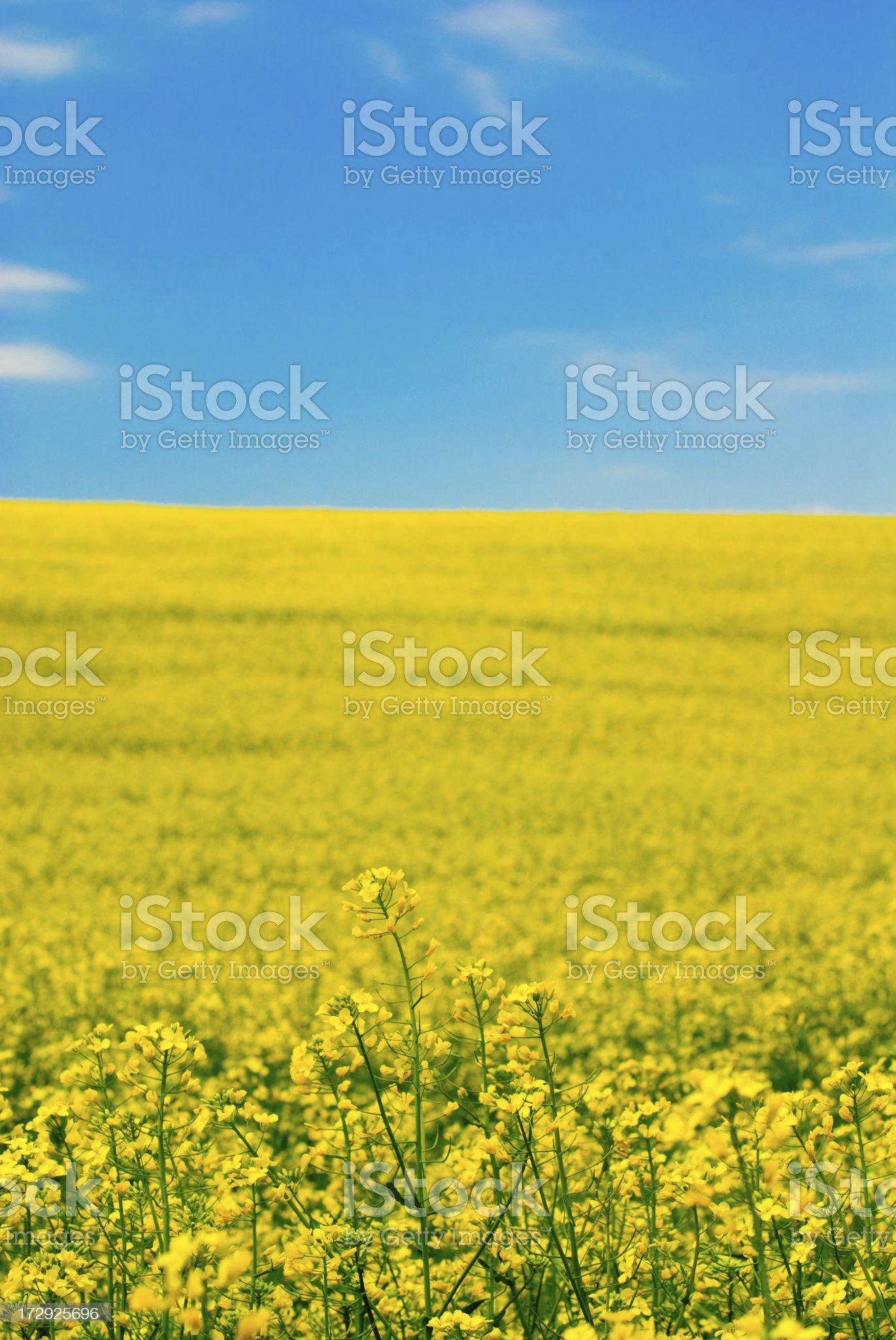 yellow flower of rape royalty-free stock photo