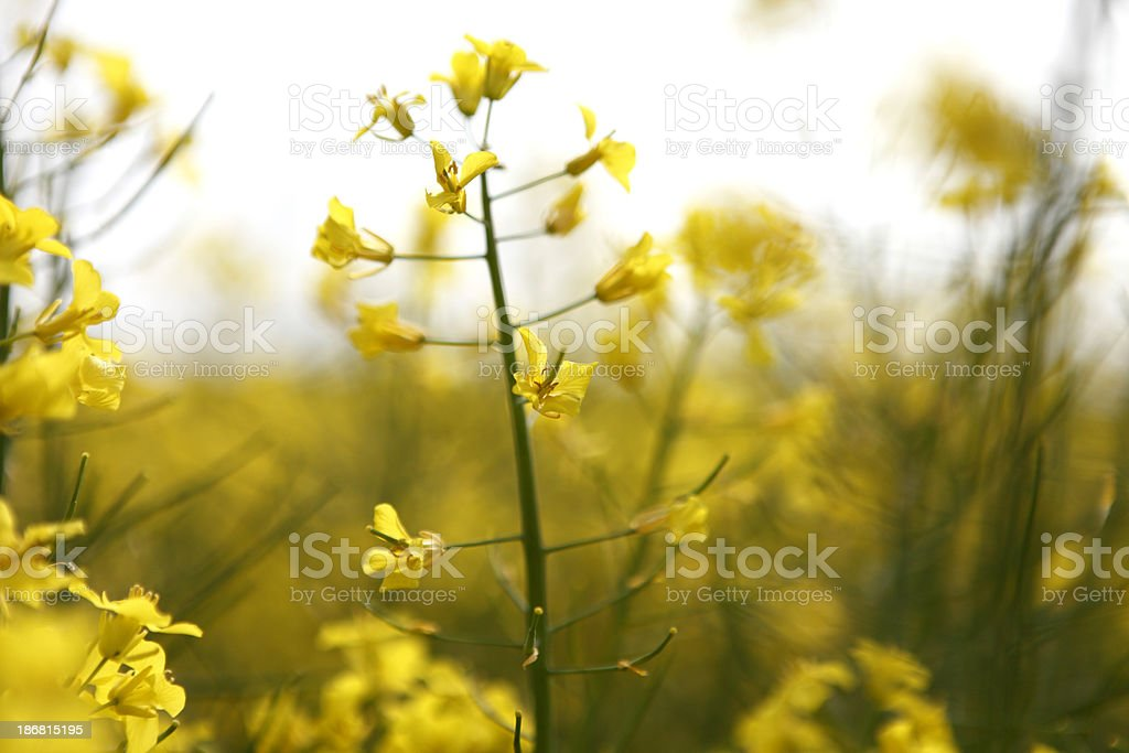 yellow flower of rape royalty-free stock photo