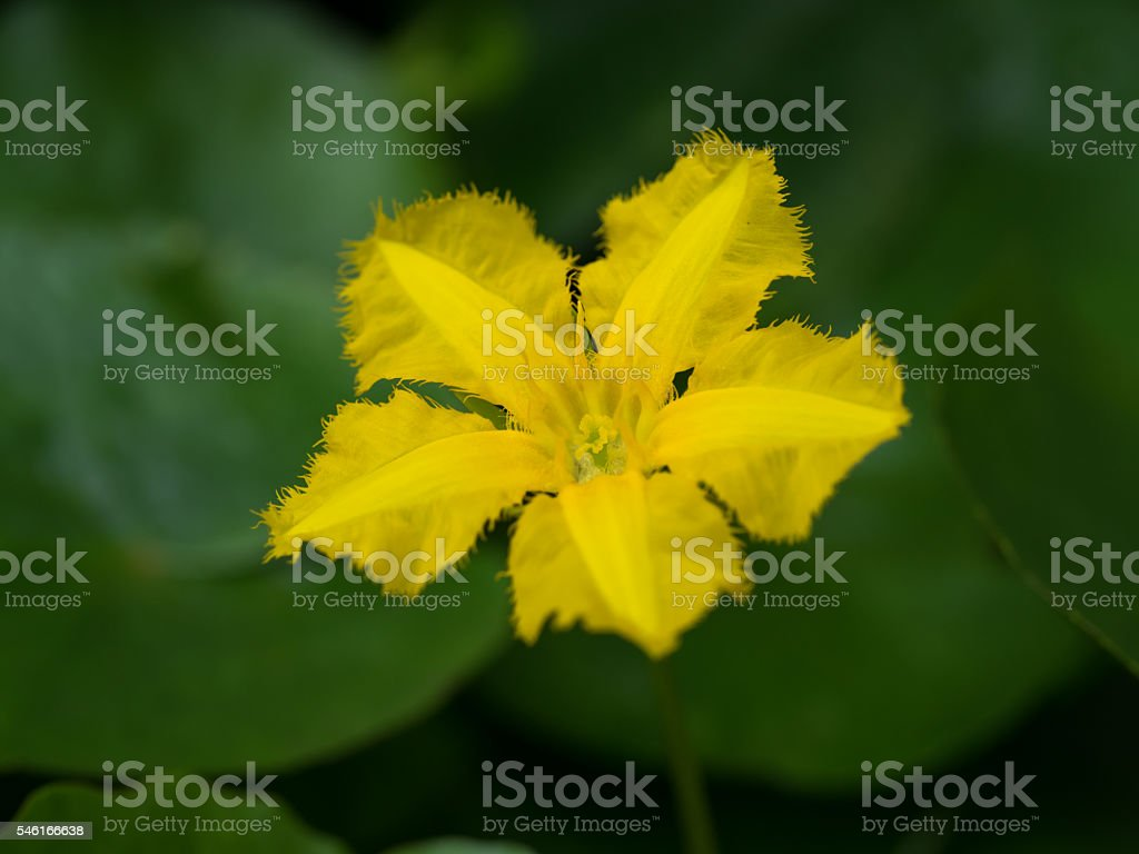 Yellow flower of the Nymphoides peltata stock photo