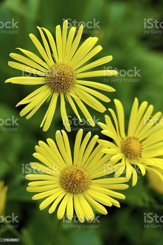 Flor amarela sobre fundo verde foto royalty-free