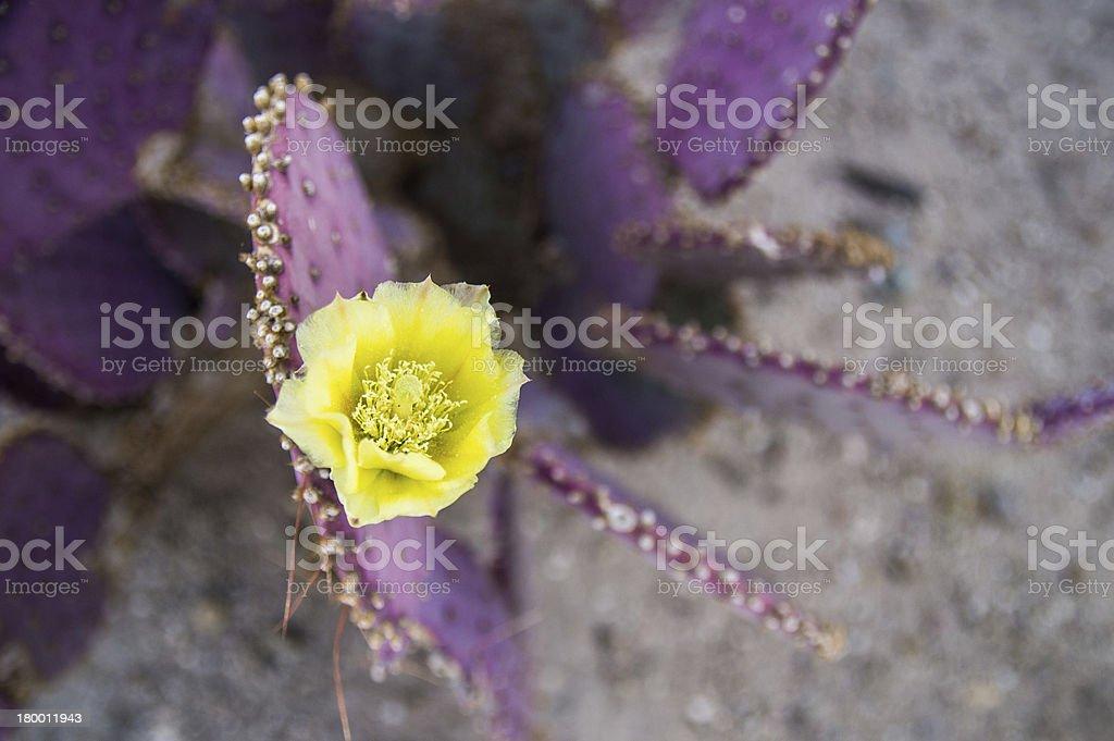 Yellow flower on purple cactus royalty-free stock photo
