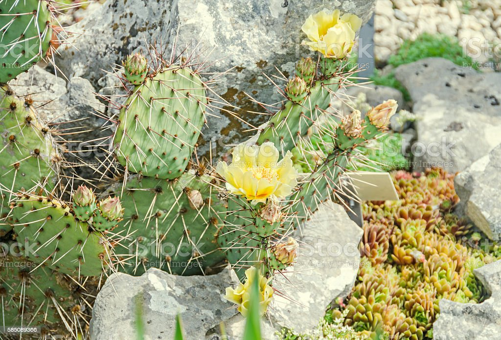 Yellow flower Opuntia humifusa, the devils tongue, eastern prick stock photo