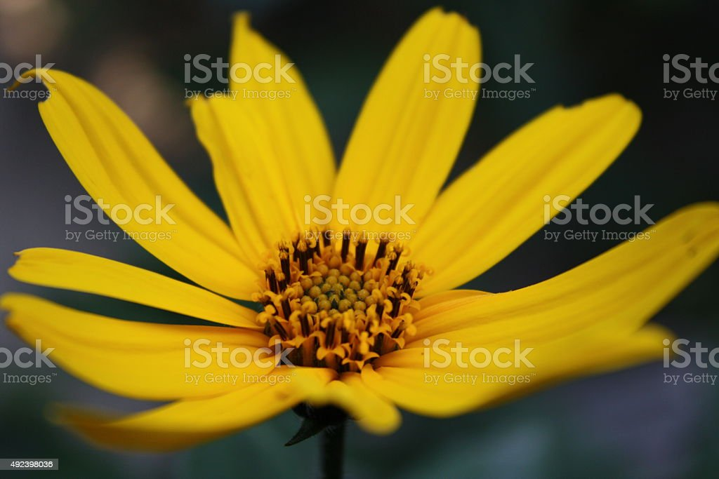 Yellow flower. royalty-free stock photo