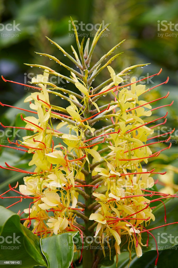 Yellow flower plant with green nature background. Hedychium gard stock photo