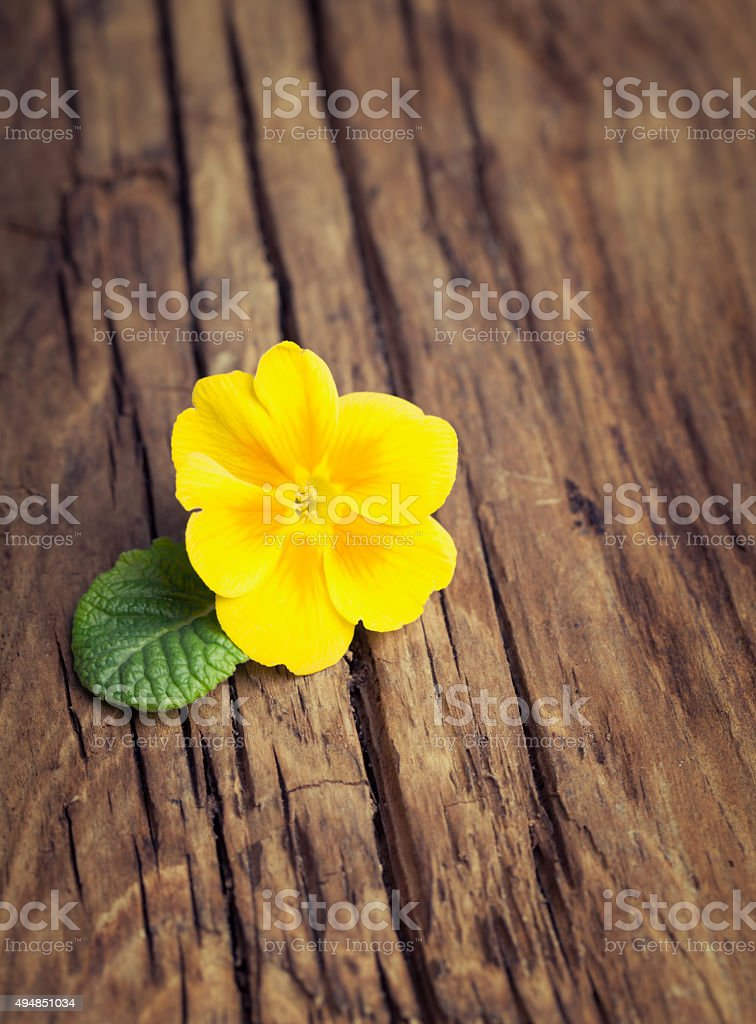 Yellow flower primrose with green leaf on vintage wooden backgro stock photo