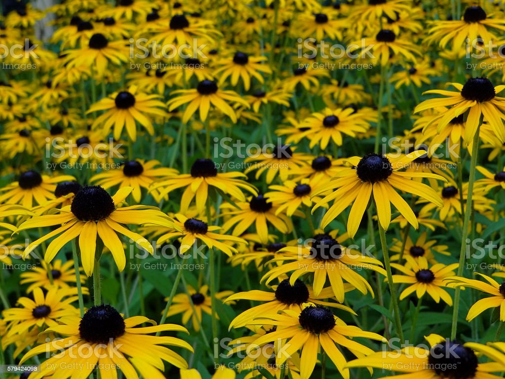 yellow flower rudbeckia stock photo
