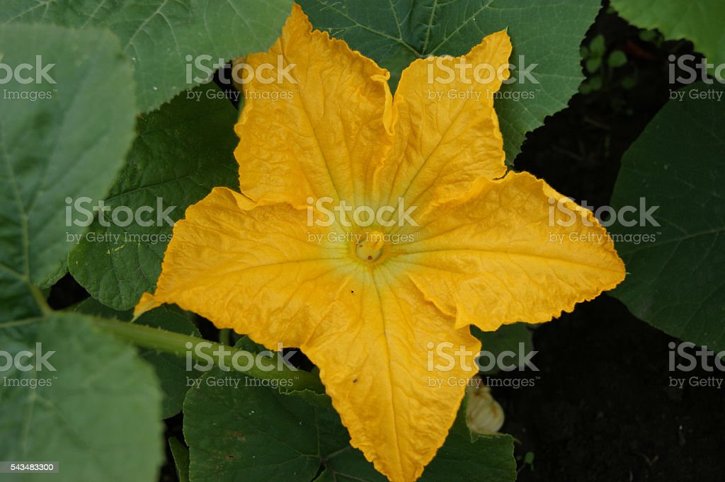 Yellow flower to melons stock photo