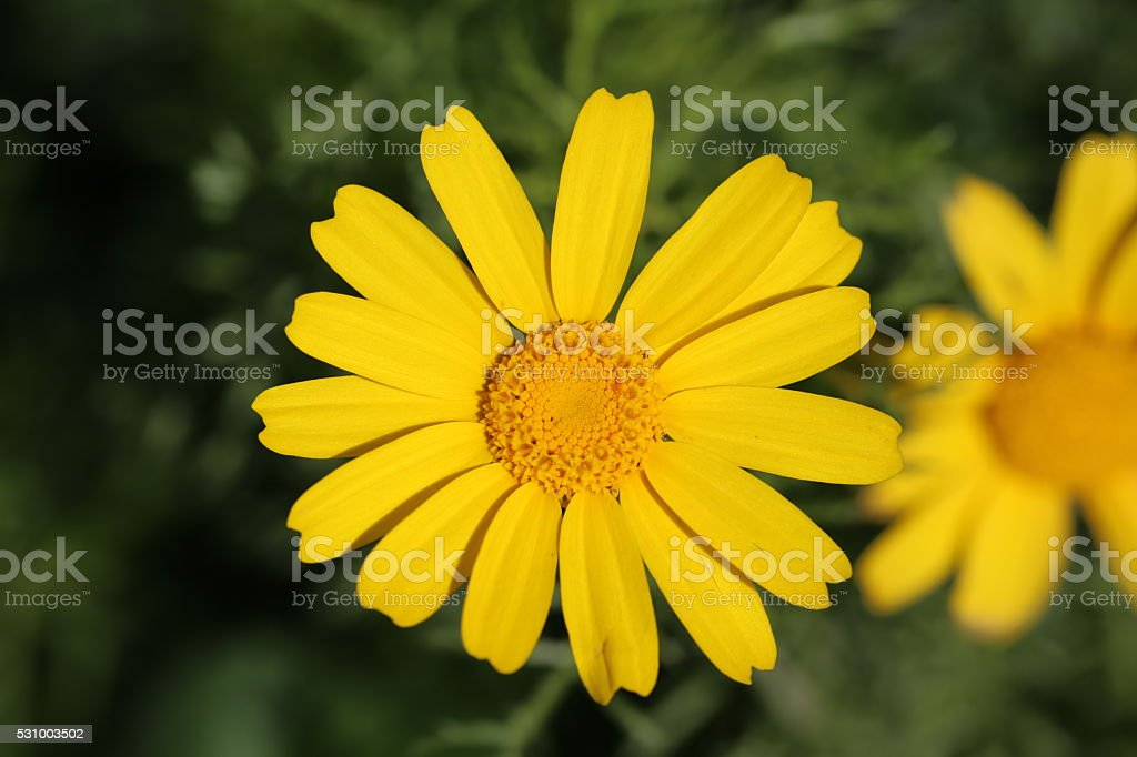 Yellow Flower - Top View. stock photo