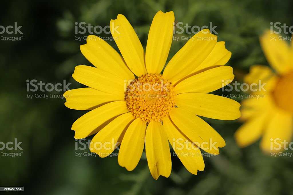 Yellow Flower, Top View stock photo