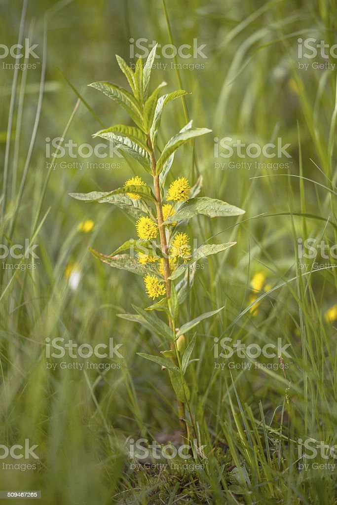 yellow flower tufted loosestrife in natural habitat stock photo