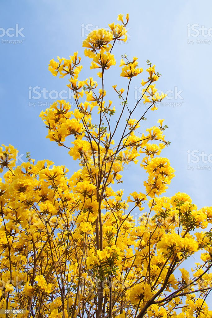 Yellow flower with blue sky background in garden royalty-free stock photo
