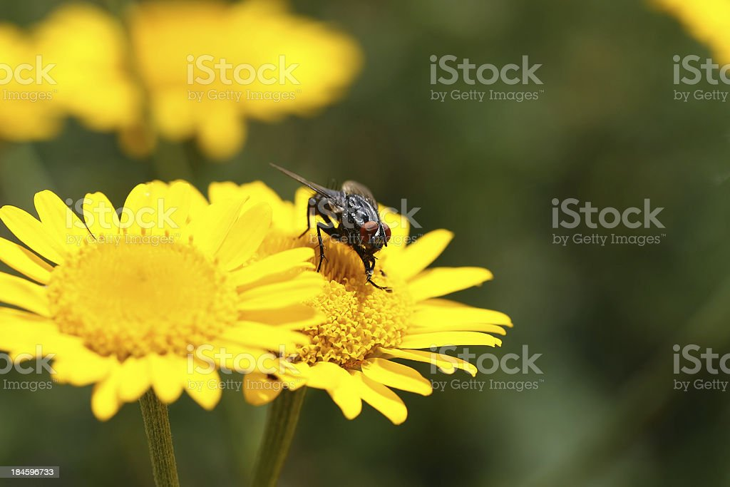 Yellow flower with fly stock photo