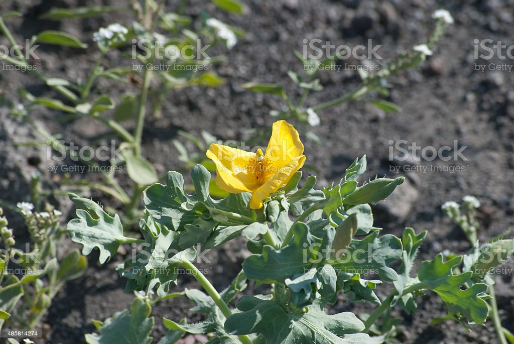 Yellow flower with leaves, on the top volcano Vesuvius stock photo