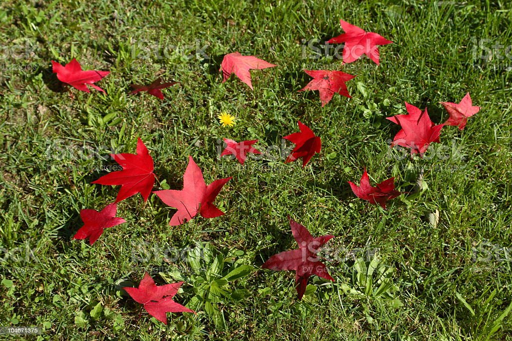 Yellow Flower with Red Leaves royalty-free stock photo