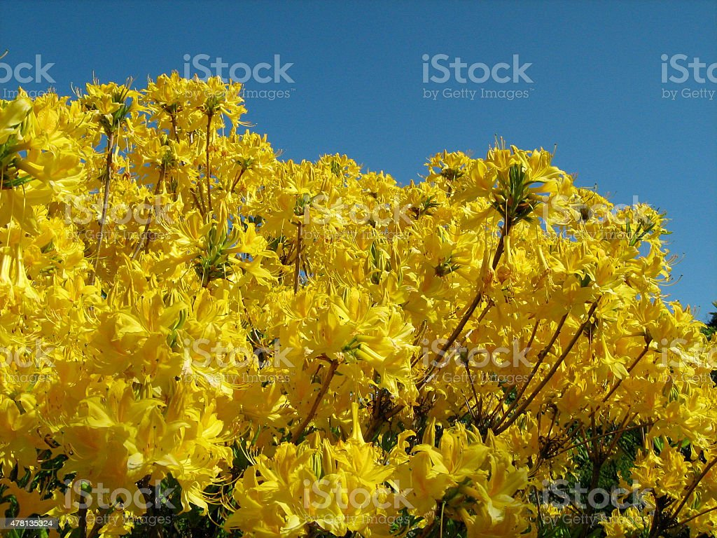 Yellow Flowering Bush stock photo
