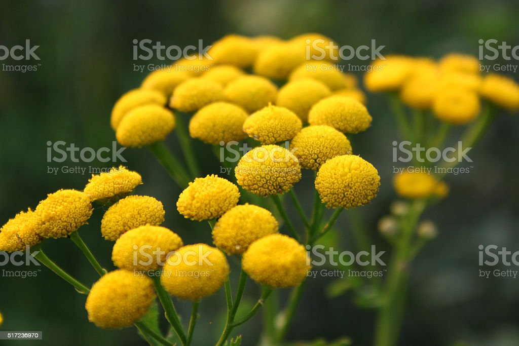 Yellow flowering Common Tansy stock photo