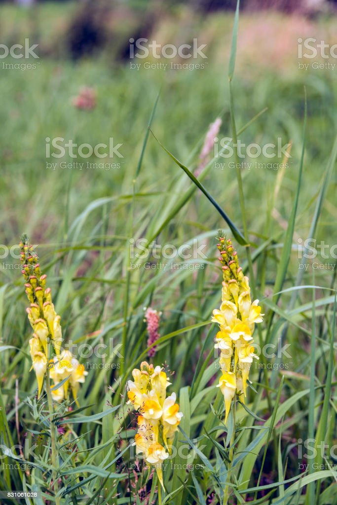Yellow flowering common toadflax plant in the wild nature from close stock photo