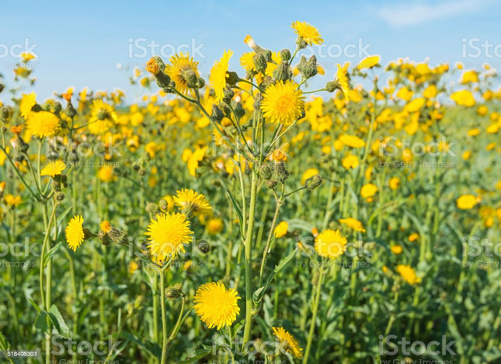 Yellow flowering Corn Sow Thistles against a blue sky stock photo