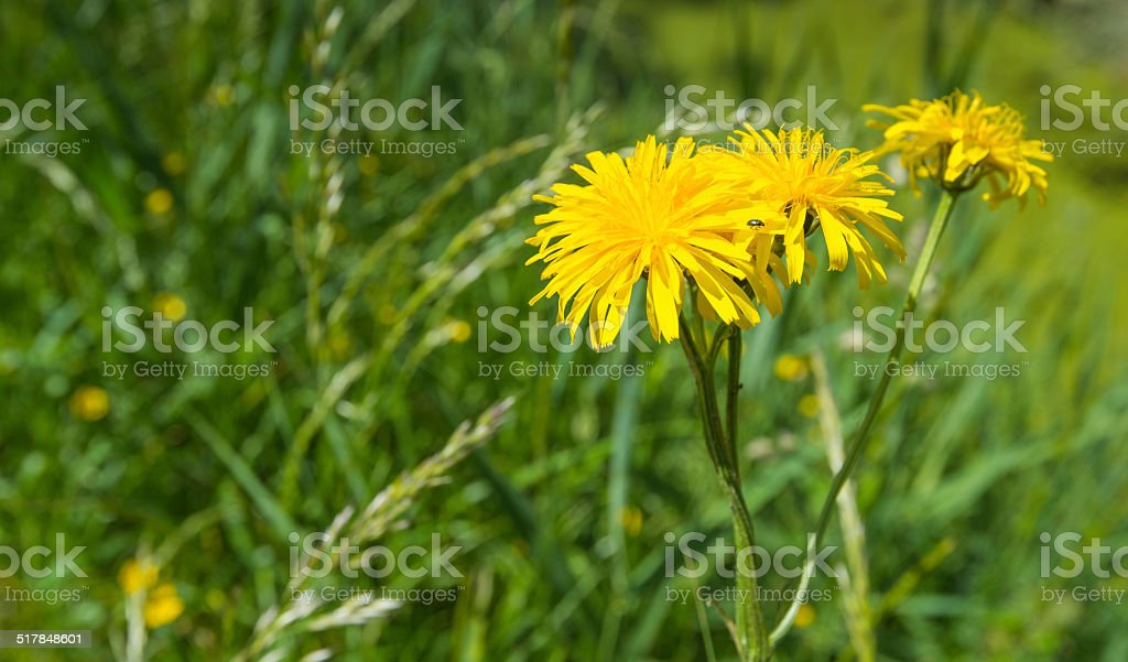 Yellow flowering Dindle plant in springtime stock photo