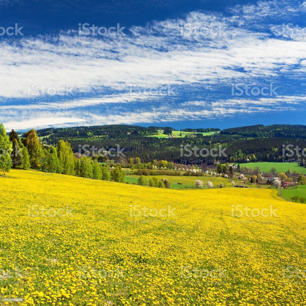 yellow flowering meadow full of dandelion stock photo
