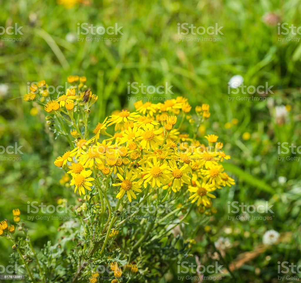 Yellow flowering Ragwort plant stock photo