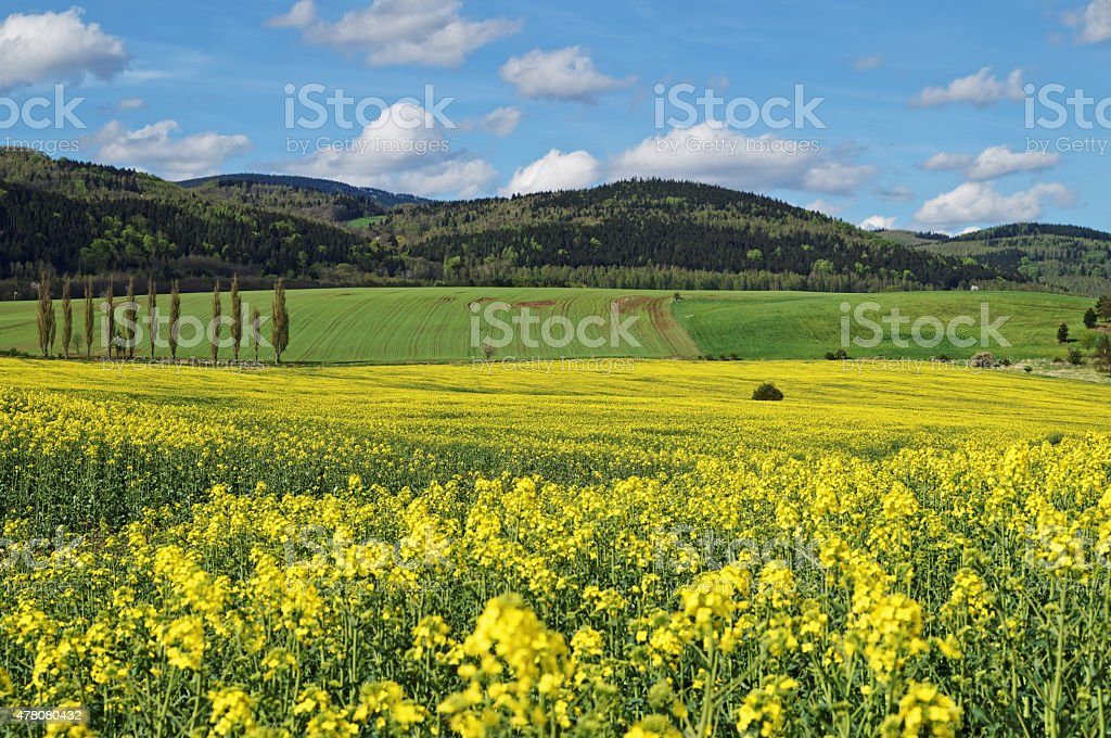Yellow flowering rapeseed field in countryside stock photo
