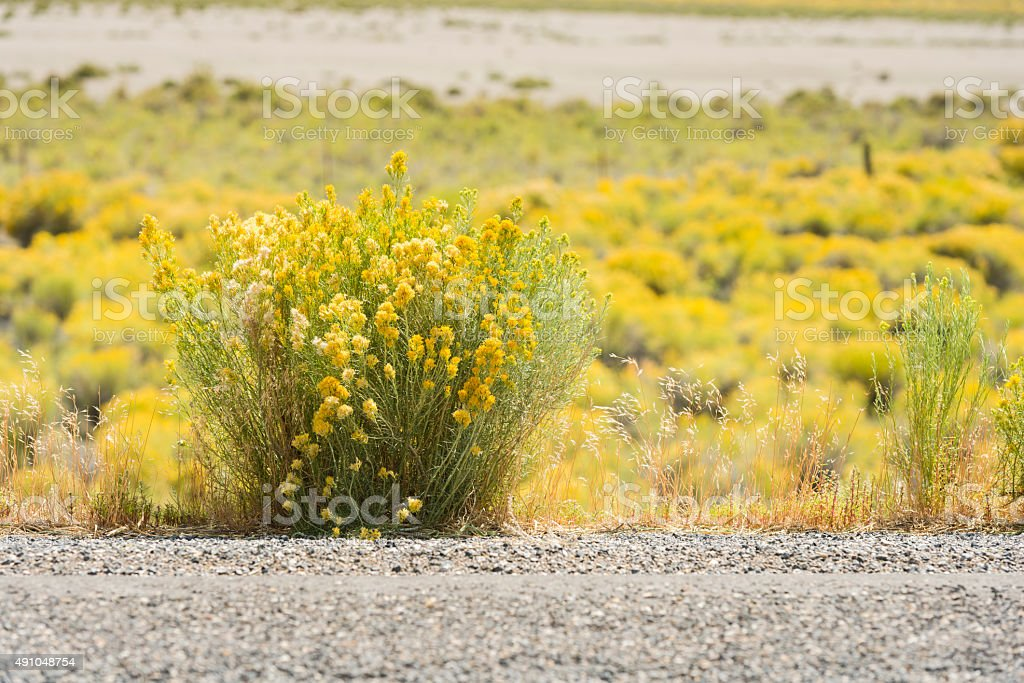 Yellow Flowering Sagebrush in Rural Nevada Desert Landscape USA stock photo