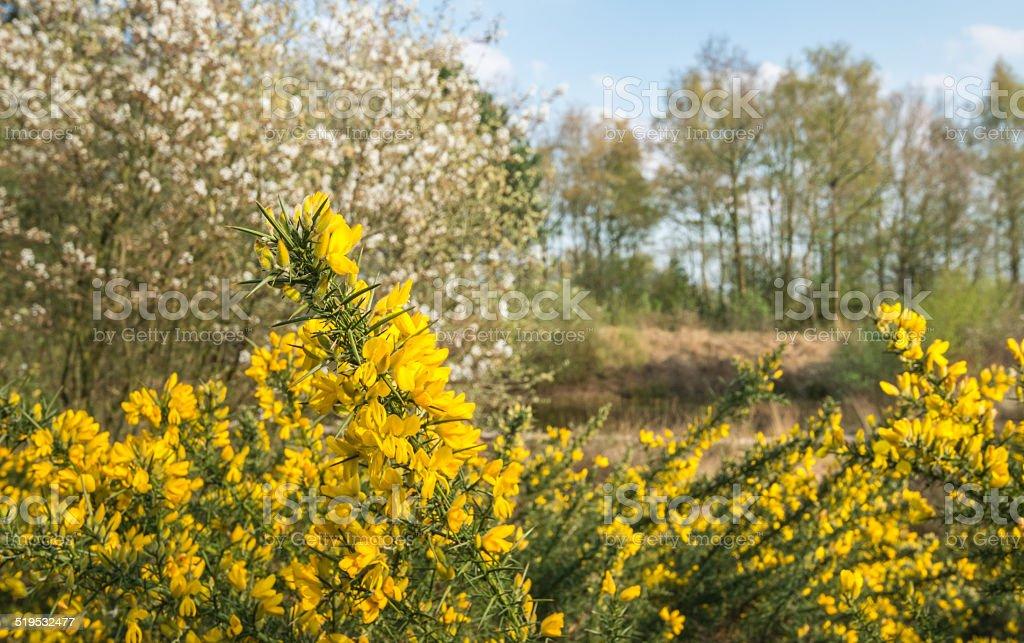 Yellow flowering Scotch Broom stock photo