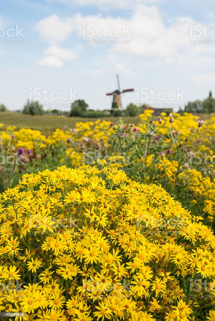 Yellow flowering tansy ragwort at the edge of a village stock photo