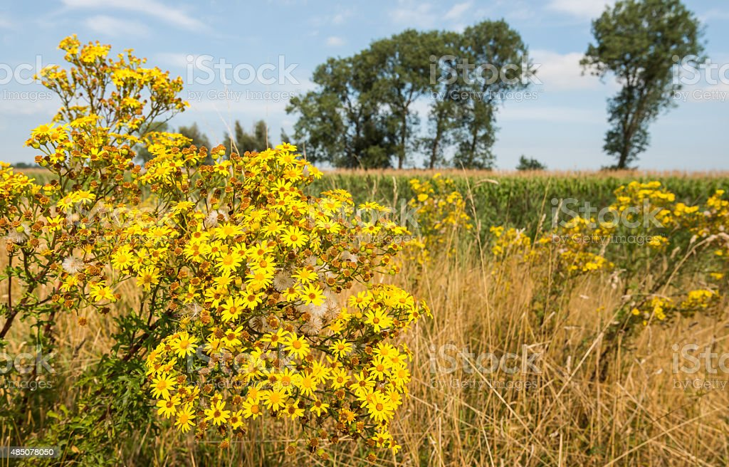 Yellow flowering tansy ragwort at the edge of farmland stock photo
