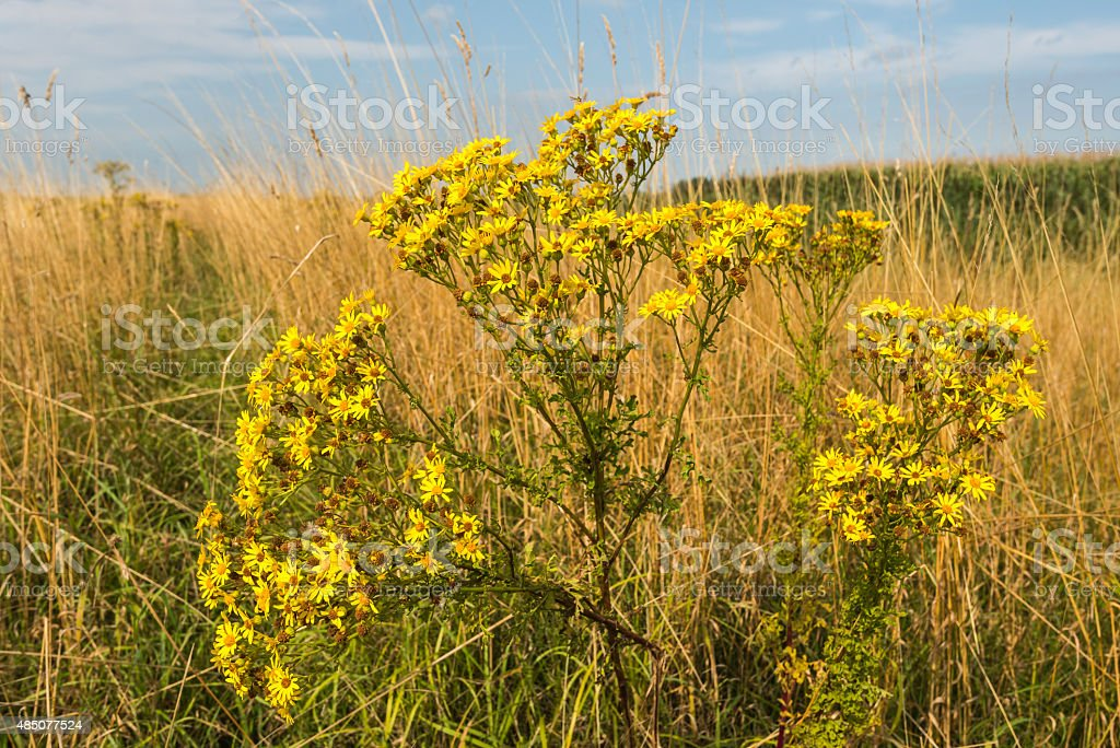 Yellow flowering tansy ragwort from close stock photo