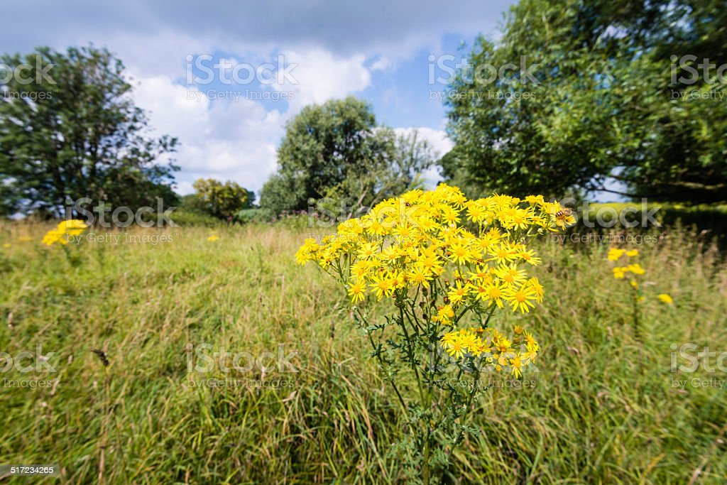 Yellow flowering tansy ragwort in the early summer season stock photo