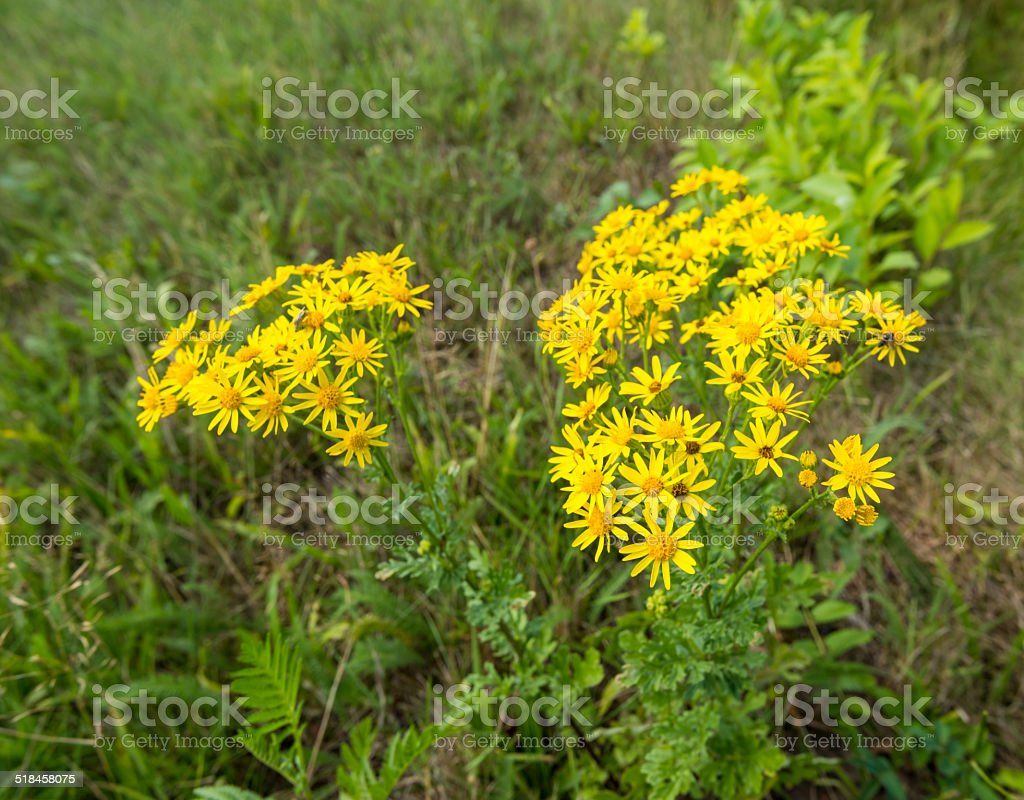Yellow flowering Tansy Ragwort stock photo