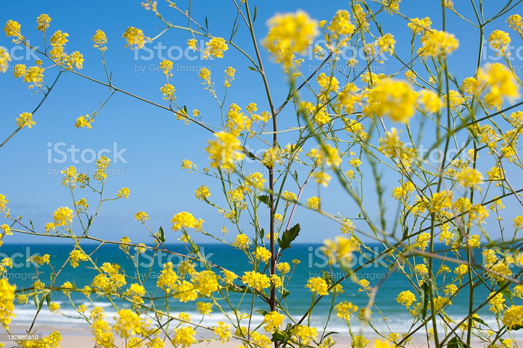 yellow flowers against blue sea and sky at st ives stock photo