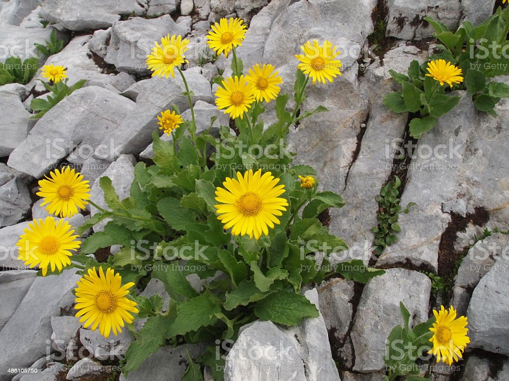 yellow flowers amidst rocks stock photo