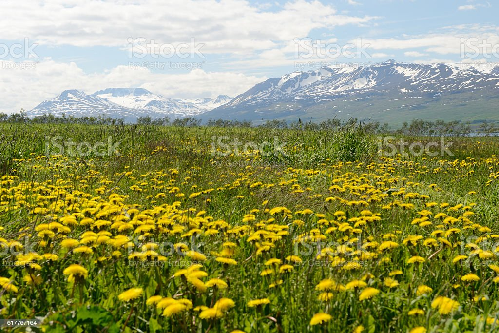 Yellow Flowers and Snow Capped Mountains stock photo