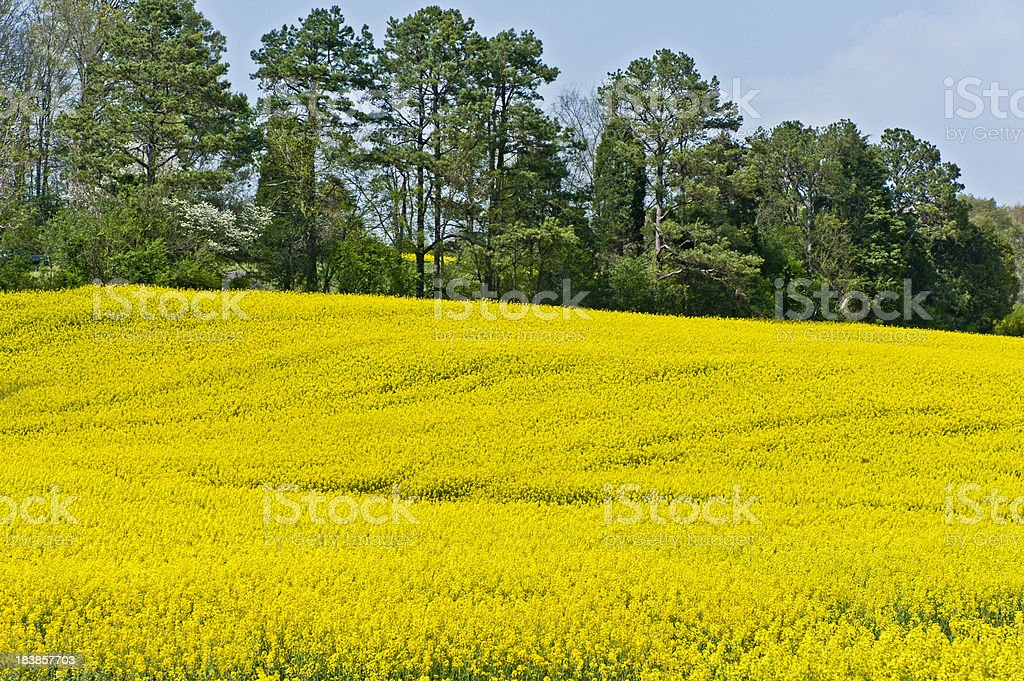 Yellow Flowers and Trees royalty-free stock photo