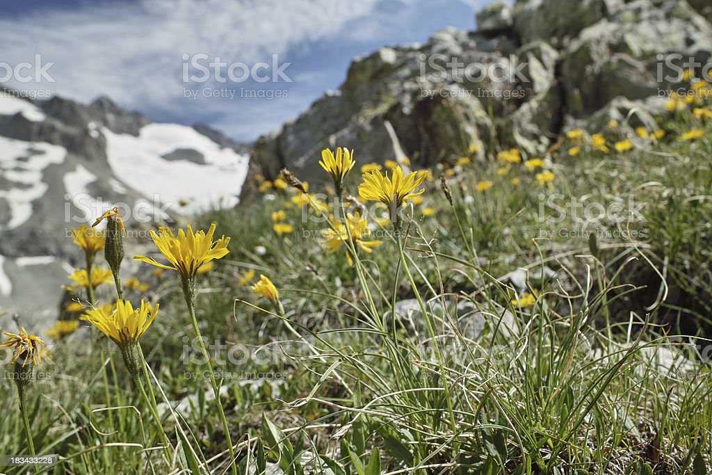 yellow flowers - arnica montana in mountain with glacier stock photo