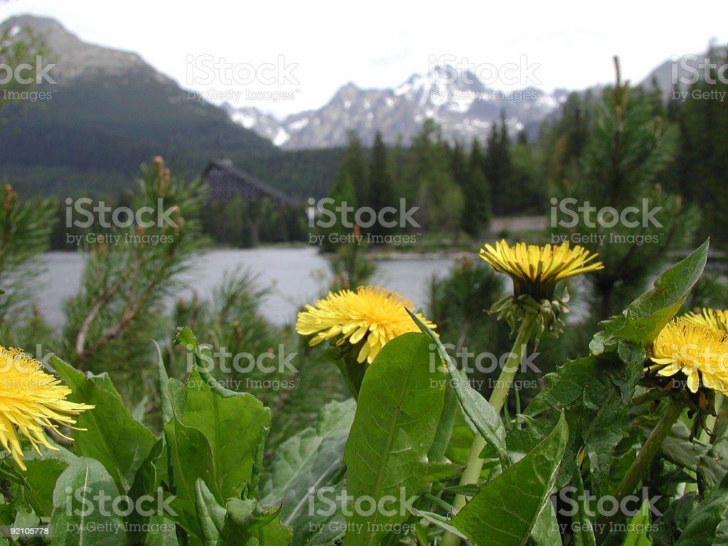 Yellow flowers at strbske lake in High Tatras royalty-free stock photo