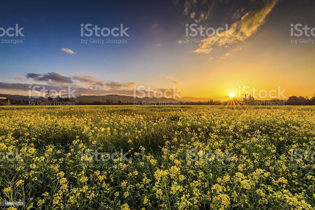 Yellow flowers at Sunset stock photo