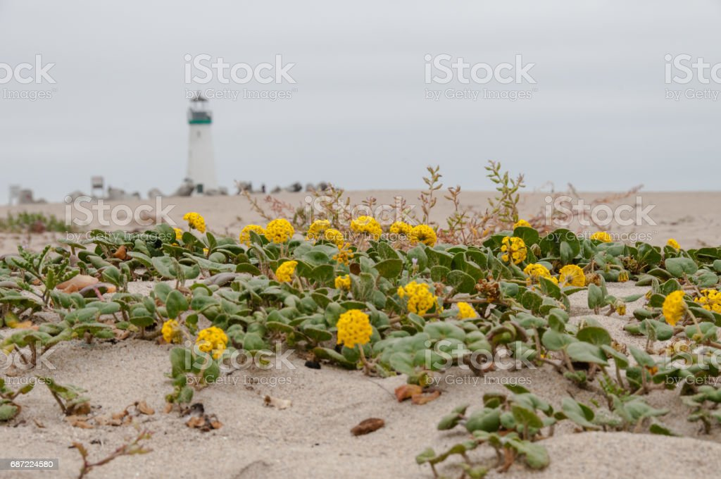 Yellow flowers bloom in the sand at the beach with lighthouse in background. stock photo