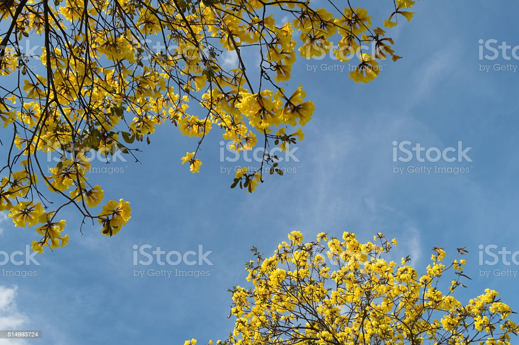 yellow flowers blooming on trees stock photo