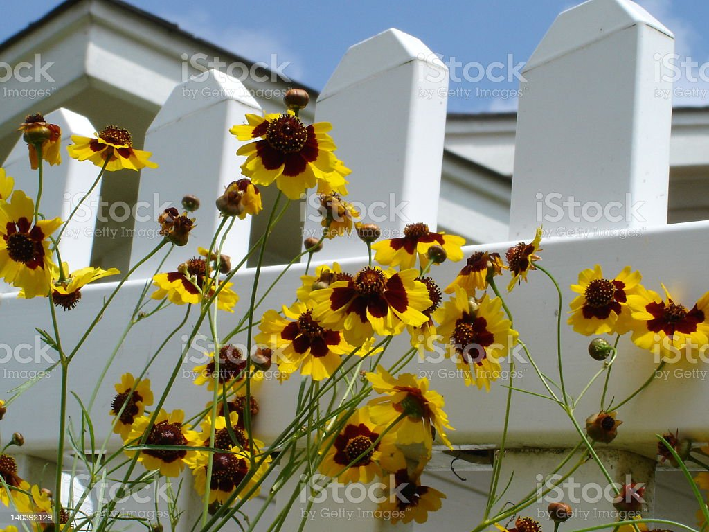 yellow flowers by white picket fence royalty-free stock photo