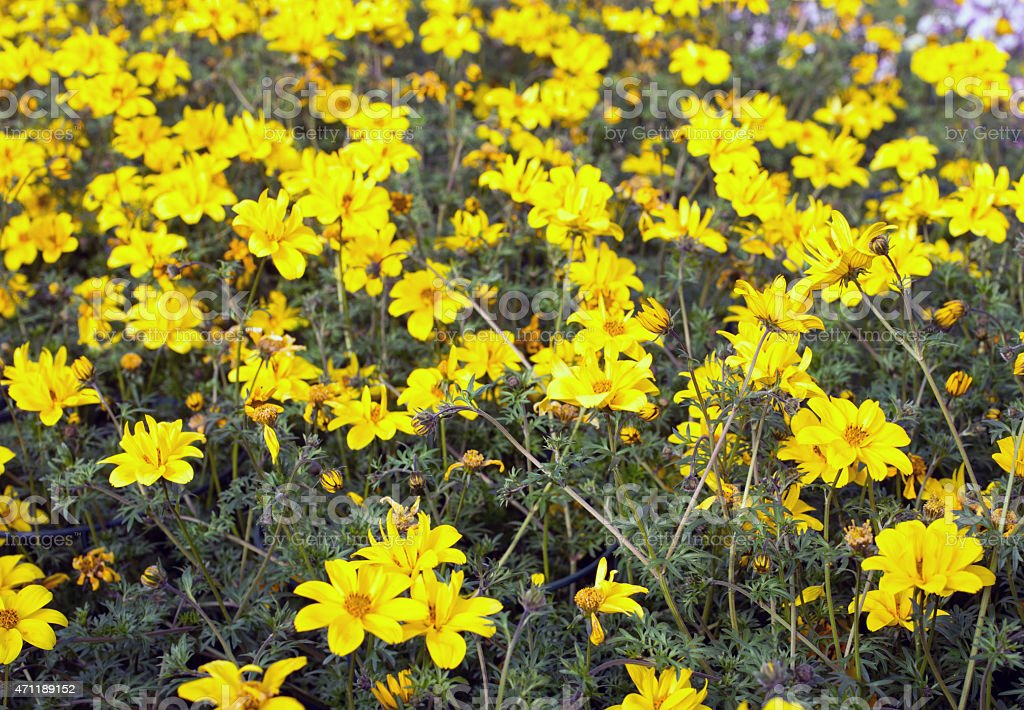 yellow flowers called Bidens in spring stock photo