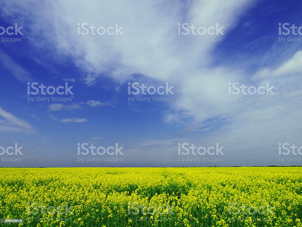 Yellow flowers field stock photo