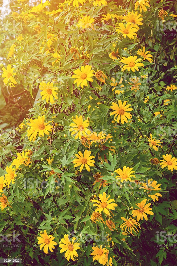 Yellow flowers , flowers Mexican tournesol stock photo